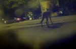 Городские койоты любят ночной Чикаго